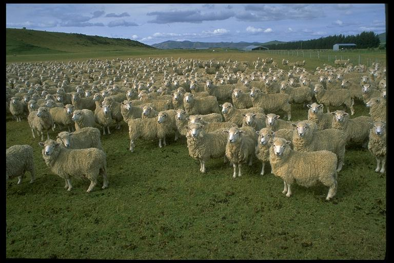 group name for sheep